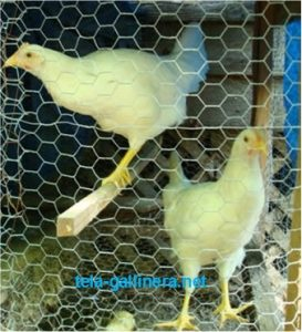 Usted puede usar la tela gallinera para hacer divisiones dentro de su corral y separa a los pollos por edad o tamaño.