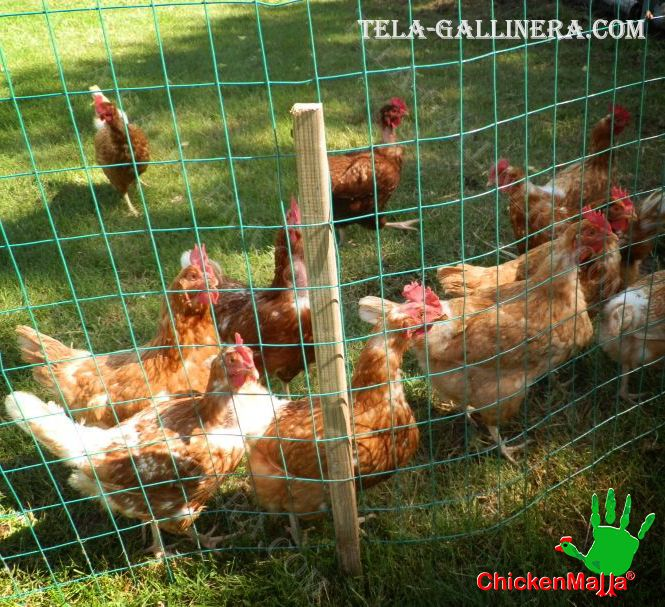 pollos al campo libre con malla gallinera
